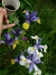 Кодонопсис клематисовидный (Codonopsis clematidea) - 5