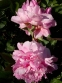"Пион ""Вивид Роуз"" (Paeonia ""Vivid Rose"") - 4"
