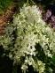 Ясенец белый (Dictamnus albus) - 1