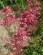 Гейхера кроваво-красная (Heuchera sanguinea) - 2