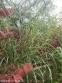 """Мискантус китайский """"Зебринус"""" (Miscanthus sinensis """"Zebrinus"""") - 4"""