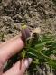 Рябчик ува вульпис (Fritillaria uva vulpis) - 4