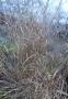 Просо скрытое или Дихантелиум скрытый (Panicum clandestinum, Dichanthelium clandestinum) - 4
