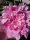 "Пион ""Вивид Роуз"" (Paeonia ""Vivid Rose"") - 3"
