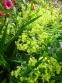 Манжетка мягкая (Alchemilla mollis) - 3