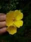 Энотера четырехугольная (Oenothera fruticosa subsp. glauca) - 2
