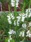Физостегия виргинская белая (Physostegia virginiana f. Alba) - 2