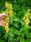 Наперстянка крупноцветковая (Digitalis grandiflora) - 3
