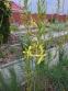 Асфоделина либорнская (Asphodeline liburnica) - 4