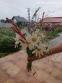 """Горец стеблеобъемлющий """"Файртейл"""" (Persicaria amplexicaule """"Firetail"""") - 10"""