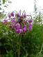 Лук склоненный (Allium cernuum Roth) - 2