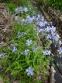 Флокс растопыренный голубой (Phlox divaricata blue) - 1