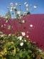 "Анемона японская ""Вирлвинд"" (Anemone japonica ""Whirlwind"") - 3"