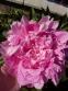 "Пион ""Вивид Роуз"" (Paeonia ""Vivid Rose"") - 1"
