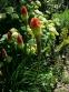 Книфофия ягодная (Kniphofia uvaria (L.) Hook) - 2