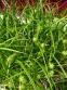 Осока Грея (Carex grayi) - 5