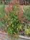 """Горец стеблеобъемлющий """"Файртейл"""" (Persicaria amplexicaule """"Firetail"""") - 7"""