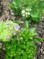 """Аквилегия обыкновенная """"Винки Ирли Скай Блу"""" (Aquilegia vulgaris """"Winky Early Sky Blue"""") - 1"""