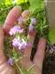 Чабер полуколосовидный (Satureja subspicata) - 3