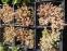 """Очиток густолистный """"Опелайн"""" (Sedum dasyphyllum """"Opaline"""") - 2"""