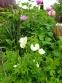 Анемона лесная (Anemone sylvestris) - 1
