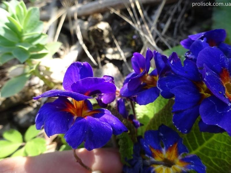"""Первоцвіт Томмазіні """"Ю енд Мі Блю""""(Primula х tommasiniі """"You and Me Blue"""") - 6"""