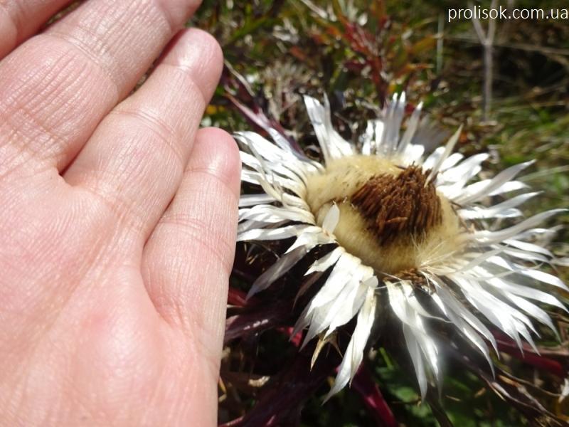 Відкасник осотоподібний (Carlina cirsioides) - 8