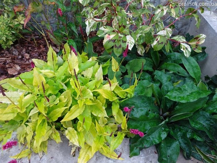 """Гірчак стеблообгортний """"Голден Арроу"""" (Persicaria amplexicaule """"Golden Arrow"""") - 5"""