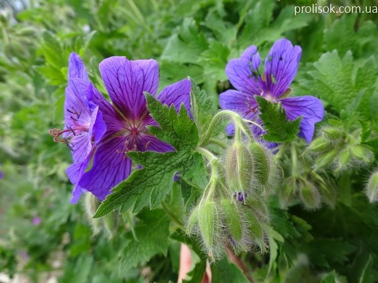 """Герань чудова """"Роземор"""" (Geranium x magnificum """"Rosemoor"""") - 1"""