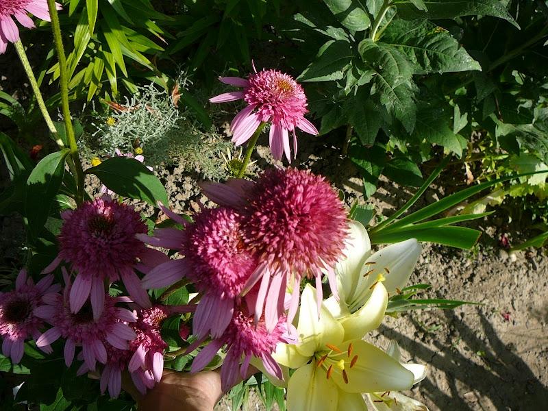 "Ехінацея пурпурова ""Раззматазз"" (Echinacea purpurea ""Razzmatazz"") - 6"