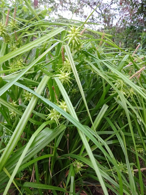Осока Грея (Carex grayi) - 9