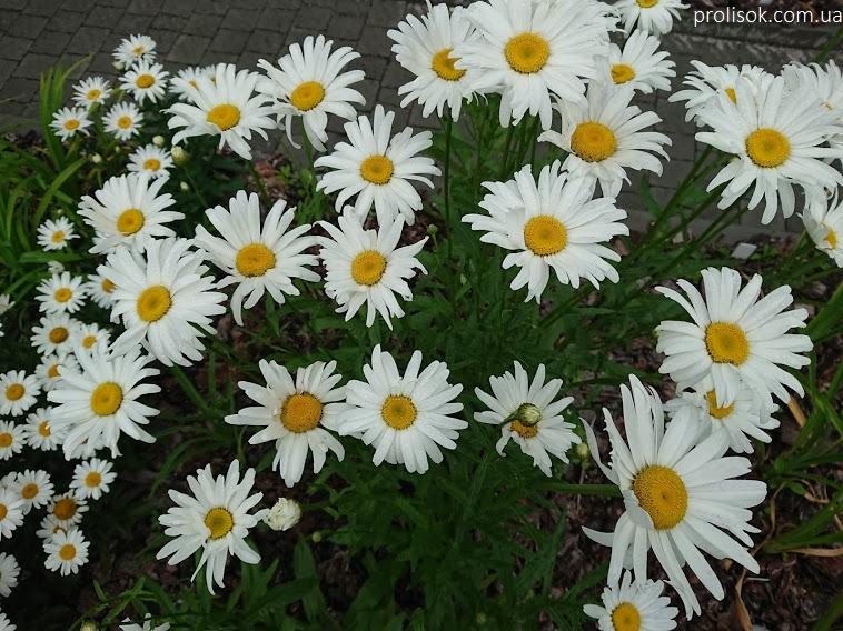 """Королиця """"Аляска"""" (Leucanthemum x superbum """"Alaska"""") - 1"""