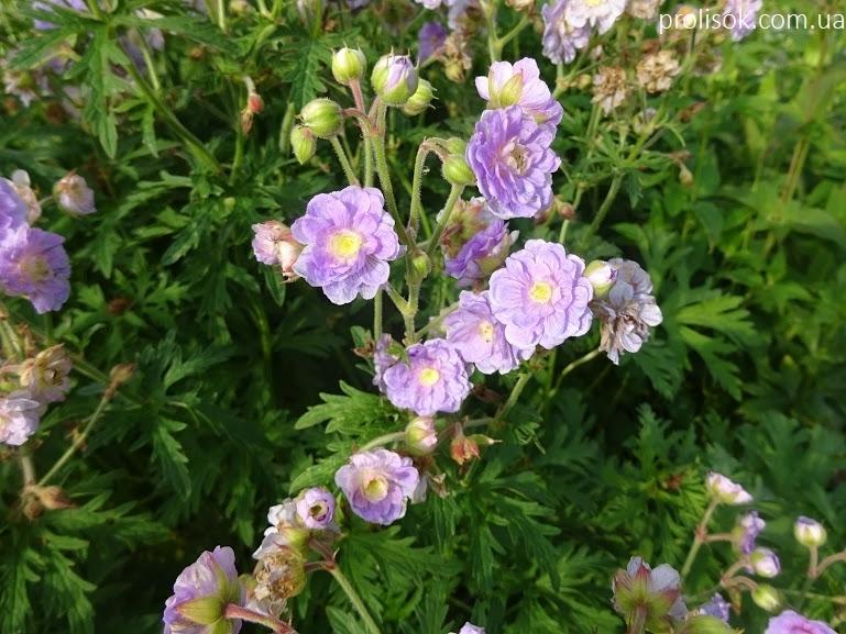 """Герань лучна """"Саммер Скайс"""" (Geranium pratense """"Summer Skies"""") - 4"""