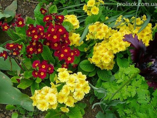 """Первоцвіт високий """"Лютеа"""" (Primula elatior """"Lutea"""") - 2"""