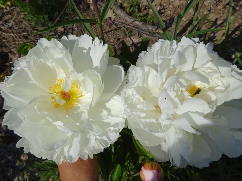 """Півонія """"Гарденія"""" (Paeonia """"Gardenia"""") - 1"""