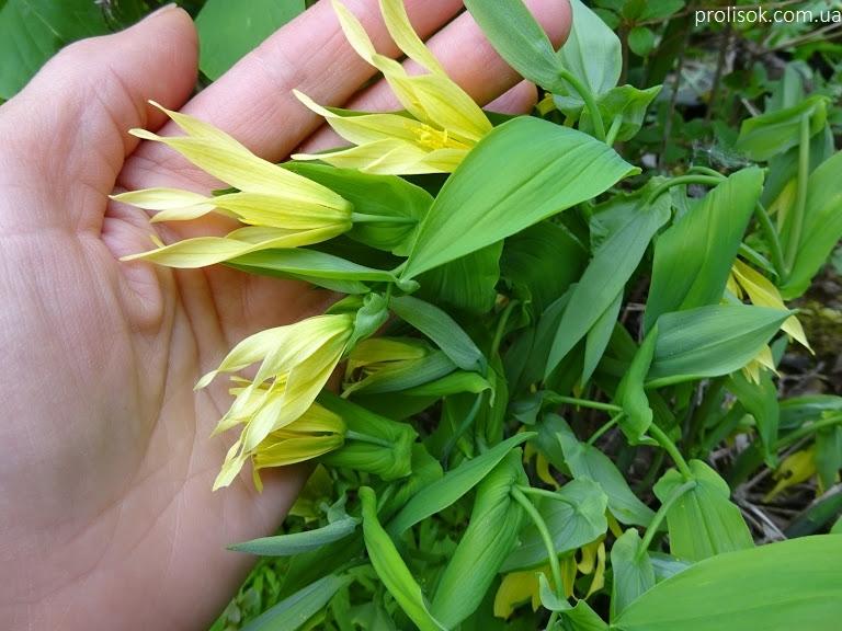 Увулярія великоквіткова (Uvularia grandiflora) - 2