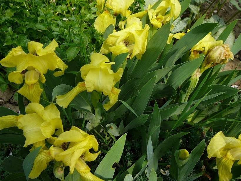 Півники бородаті карликові жовті (Iris pumila) - 1