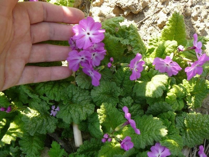 Первоцвіт Зібольда (Primula sieboldii) - 6