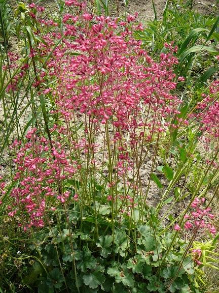 Гейхера криваво-червона (Heuchera sanguinea) - 1