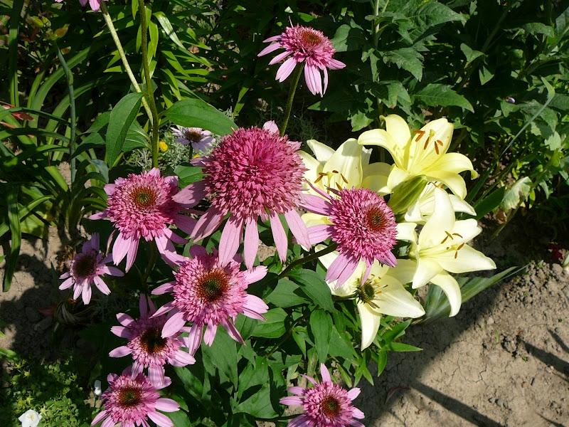 "Ехінацея пурпурова ""Раззматазз"" (Echinacea purpurea ""Razzmatazz"") - 5"