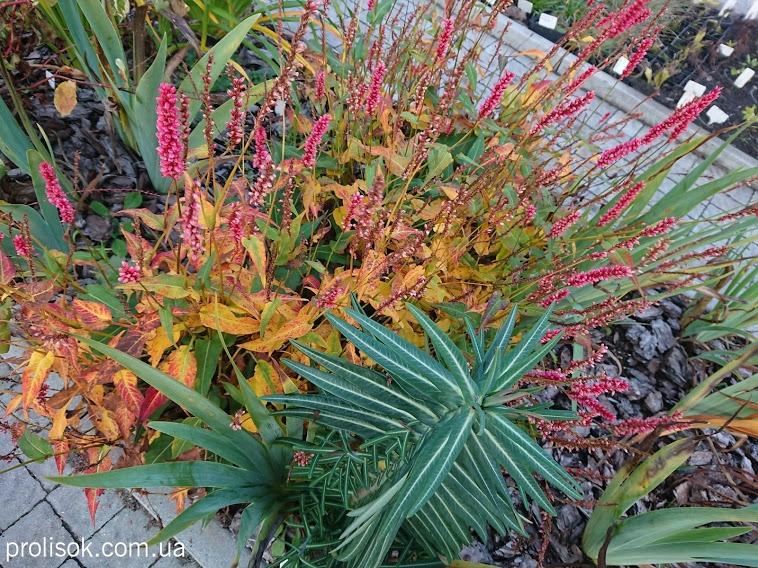 "Гірчак стеблообгортний ""Файртейл"" (Persicaria amplexicaule ""Firetail"") - 2"