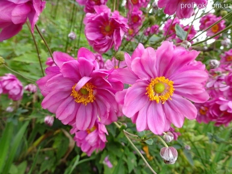 "Анемона японська ""Паміна"" (Anemone japonica ""Pamina"") - 4"