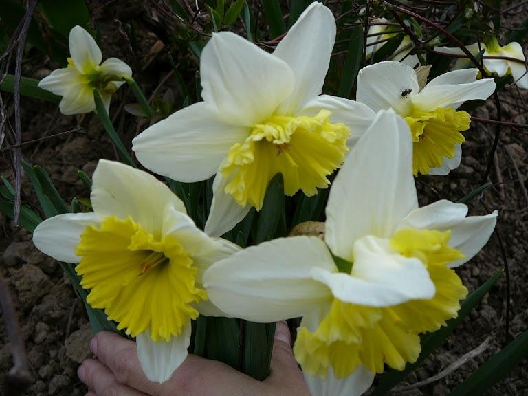 "Нарцис ""Айс Фолліс"" (Narcissus ""Ice Follies"") - 2"