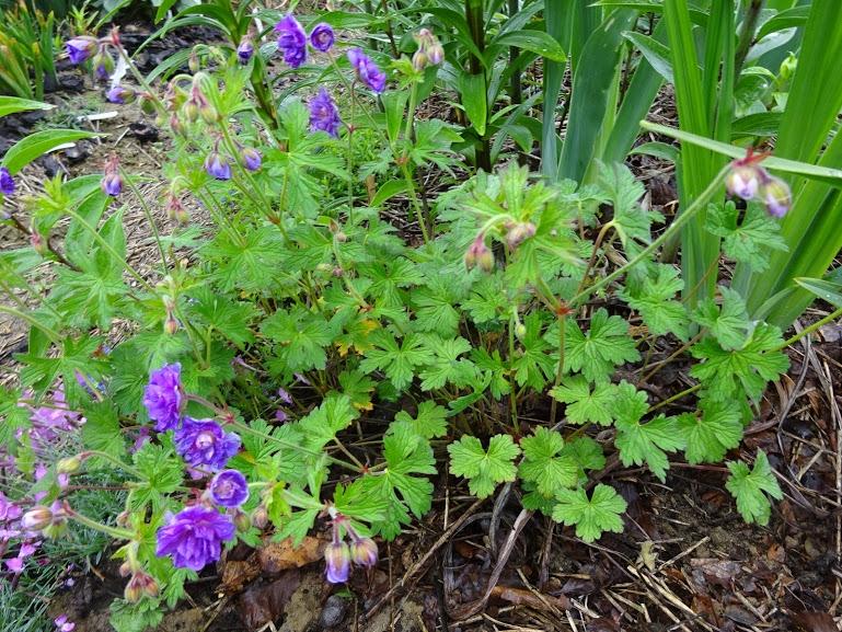 """Герань гімалайська """"Бірч Дабл"""" (Geranium himalayense """"Birch Double"""") - 1"""