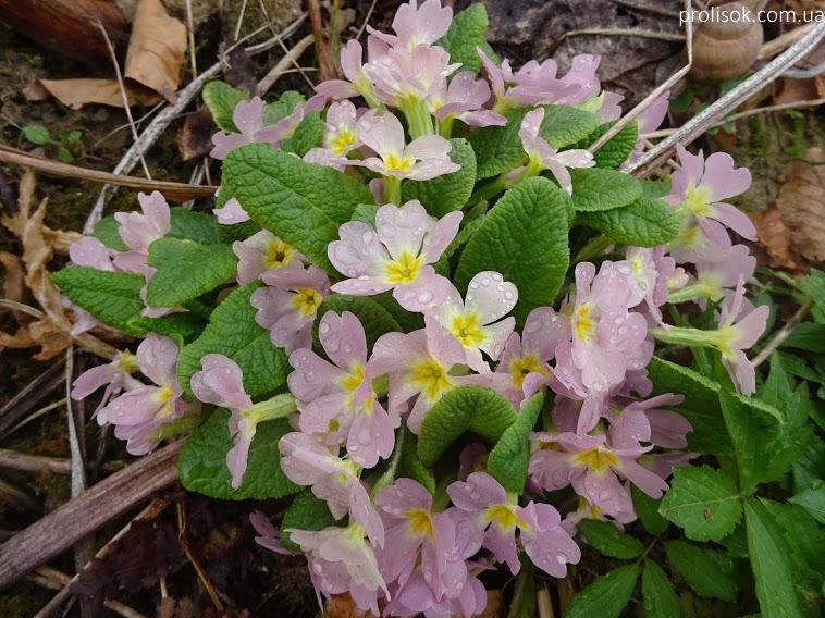 Первоцвіт Воронова (Primula woronowii) - 1