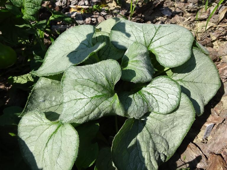 """Бруннера великолиста """"Лукінг Гласс"""" (Brunnera macrophylla """"Looking Glass"""") - 3"""