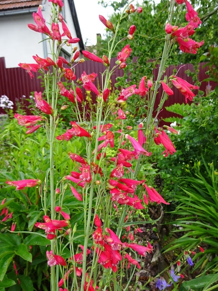 Пенстемон бородатий (Penstemon barbatus) - 4