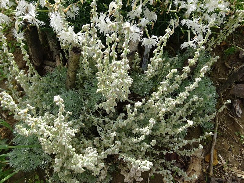 Полин холодний (Artemisia frigida Willd.) - 1