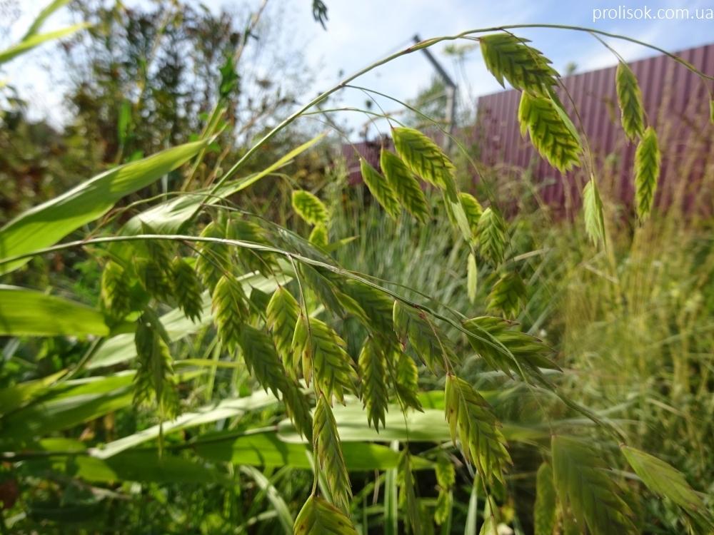 Хасмантіум широколистий (Chasmanthium latifolium) - 1