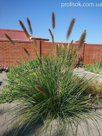 Пенісетум лисохвостий (Pennisetum alopecuroides) - 3